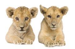 4个崽狮子月 库存图片