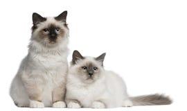 4个birman小猫月坐 库存图片