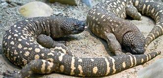 4串珠的蜥蜴墨西哥 免版税库存图片