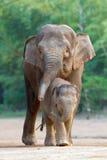 4亚洲大象familys走 免版税图库摄影