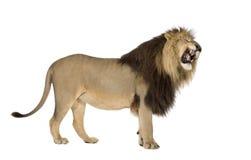 4半利奥狮子panthera年 免版税图库摄影