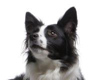4博德牧羊犬年 免版税库存图片