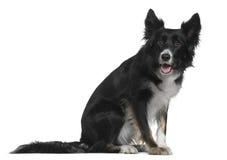 4博德牧羊犬老坐的年 免版税库存图片