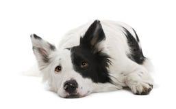 4博德牧羊犬老年 免版税库存照片