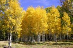 4卷白杨木颜色秋天森林 免版税图库摄影