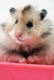 4只仓鼠叙利亚 免版税库存照片