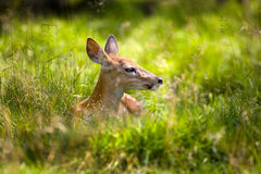 4只小鹿休息 库存图片