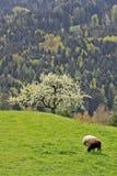 4只山牧场地绵羊 免版税图库摄影