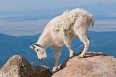 4只山羊山 库存图片