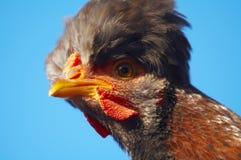 4只母鸡纵向 库存图片