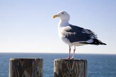 4只海鸥树桩 库存照片