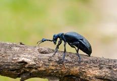 4只甲虫meloe sp violatus 免版税图库摄影
