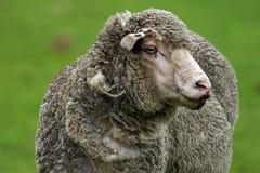 4只绵羊 库存照片
