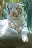 4只老虎白色 免版税库存照片