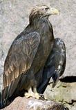 4只老鹰被盯梢的白色 免版税库存图片