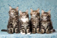 4只背景蓝色浣熊小猫缅因 库存照片