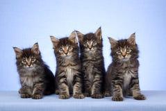 4只背景蓝色浣熊小猫缅因 库存图片