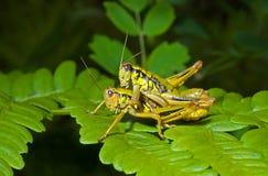 4只蚂蚱叶子二 免版税库存图片