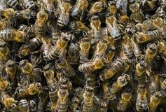 4只蜂 免版税库存照片