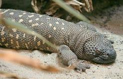 4只蜥蜴被盯梢的刺 免版税库存照片