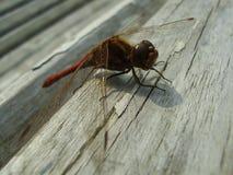 4只蜻蜓红色 库存照片