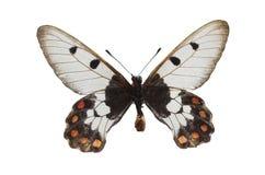 4只蝴蝶白色 库存照片