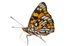 4只蝴蝶dichroa sephisa 免版税图库摄影
