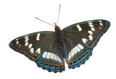 4只蝴蝶limenitis populi ussuriensis 免版税图库摄影