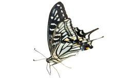 4只蝴蝶papilio xuthus 库存图片
