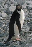 4只阿德力企鹅企鹅 库存图片