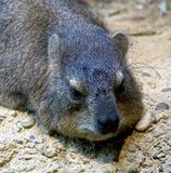 4只非洲蹄兔岩石 免版税库存图片
