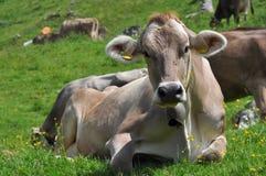 4头母牛lucomagno通过牧场地 库存图片