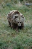 4头熊北美灰熊 免版税库存图片