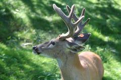 4头鹿 免版税库存图片