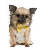 4把弓奇瓦瓦狗穿戴了老几年黄色 库存照片