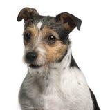 4接近的几年的插孔老罗素狗 免版税库存照片