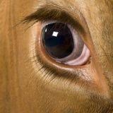4接近的母牛眼睛黑白花牛老年 免版税图库摄影