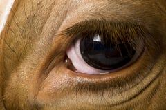 4接近的母牛眼睛黑白花牛老年 免版税库存照片