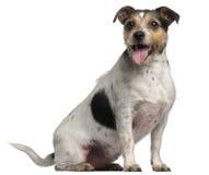 4插孔老罗素坐的狗年 免版税库存照片