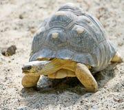 4放热的草龟 库存照片