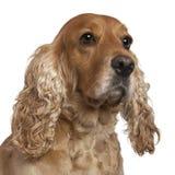 4斗鸡家英国老西班牙猎狗年 免版税库存图片
