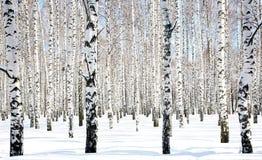 4月桦树树丛 免版税库存照片