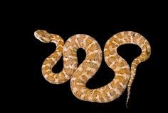 4有毒的蛇 免版税库存照片