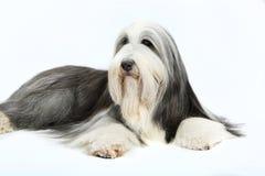 4有胡子的大牧羊犬老年 免版税库存图片