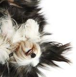 4有胡子的大牧羊犬老年 免版税库存照片