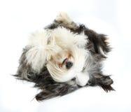 4有胡子的大牧羊犬老空白年 图库摄影