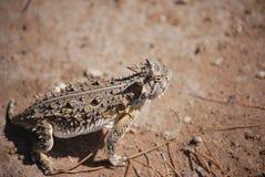 4有角的蜥蜴蟾蜍 免版税库存图片
