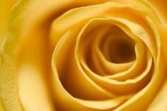 4朵玫瑰黄色 图库摄影