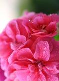 4朵花粉红色 库存图片