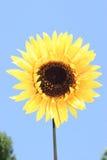 4朵花黄色 免版税库存图片